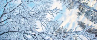 Looking up at snowy branches and trees, winter background. Looking up at snowy branches and trees, panoramic winter background Royalty Free Stock Images