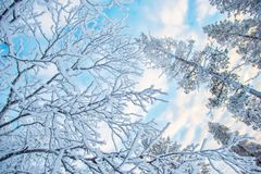 Looking up at snowy branches and treesin winter. Looking up at snowy branches and trees, winter background Stock Image