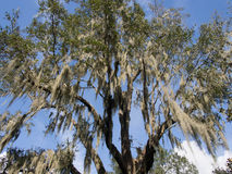 Looking up at Spanish Moss. In Lake Wales, Florida Royalty Free Stock Photo