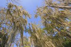 Looking up into the Spanish Moss Royalty Free Stock Photos
