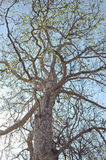 Looking up at a sycamore tree. Sycamore tree royalty free stock image