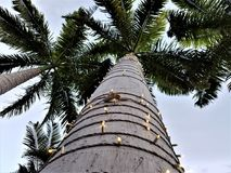 Looking Up at the Tall Palm Tree Stock Photography