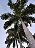 Looking Up at the Tall Palm Tree Royalty Free Stock Image