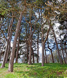 Looking up at tall pine trees Royalty Free Stock Photos
