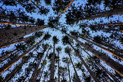 Looking up at tall pine trees Stock Image