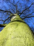 Looking up at a tall tree. Metaphor for growth and stability. Metaphor for challenge. Stong, bold and fresh colours. Blue sky. Mother Nature Stock Photography