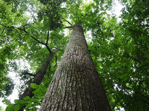 Looking up at tall trees in forest Royalty Free Stock Photography