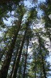 Looking up at tall trees. On Vancouver Island Stock Images