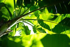 Looking up to banana tree royalty free stock images