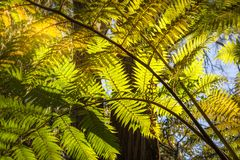 Looking up to a beautiful sunglowing fern in a tropical forest. Backlit fern at Lawson Creek, Five Waterfalls Circuit, South Lawson, Blue Mountains, New South royalty free stock photo