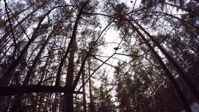 Looking Up to Blue Sky Framed by Forest Tree Tops. the edge of the trees, the sky. beautiful pine bottom view. branches stock video