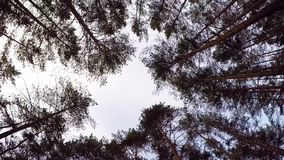 Looking Up to Blue Sky Framed by Forest Tree Tops. the edge of the trees, the sky. beautiful pine bottom view. branches. Of trees against the sky on a Sunny day stock footage