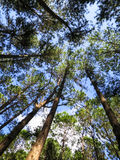 Looking up to the blue sky and white cloud in pine tree park, no Stock Image