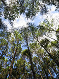Looking up to blue sky and white cloud in pine tree park, northe Royalty Free Stock Image