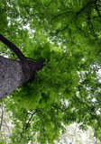 Looking up to canopy of chestnut tree with selective focus. Looking up to canopy of chestnut tree Stock Images