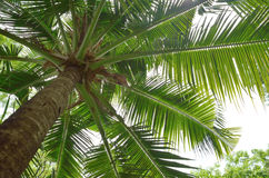 Looking up to the coconut tree Stock Photography