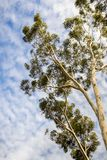 Looking up to the crown of a tall Eucalyptus tree; eucalyptus trees were introduced to California and are considered invasive stock photos