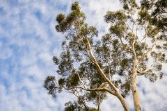 Looking up to the crown of a tall Eucalyptus tree; eucalyptus trees were introduced to California and are considered invasive royalty free stock image