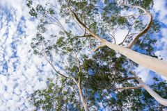 Looking up to the crown of tall Eucalyptus trees; eucalyptus trees were introduced to California and are considered invasive stock images