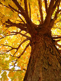 Looking Up To Fall. A unique look at a Maple Tree during Fall in Vermont Stock Images