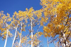 Looking up to golden aspen trees in the fall. Stock Photos