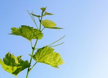Looking up to Grape vine leaves on a vine stem the vine is running horizontally accross the image, the leaves have the royalty free stock images