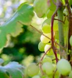 Looking up to Grape vine leaves on a vine stem the vine is running horizontally accross the image, the leaves have the stock photos
