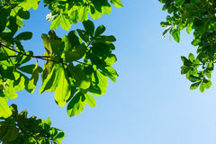 Looking up to Leaf with blue sky and sun beam light Stock Photos