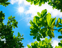 Looking up to Leaf with blue sky and sun beam light Royalty Free Stock Images
