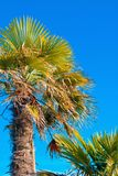 Looking up to palm tree Royalty Free Stock Image