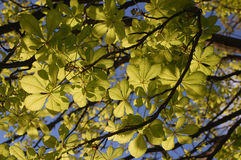 Looking up to see green leaves Royalty Free Stock Photo