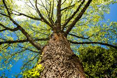 Tree Trunk in a back yard. Looking up in to the sky as the canopy of the tree provides shade and color Royalty Free Stock Photo