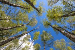 Looking up to the sky in forest Royalty Free Stock Images