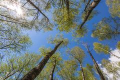Looking up to the sky in forest Royalty Free Stock Image