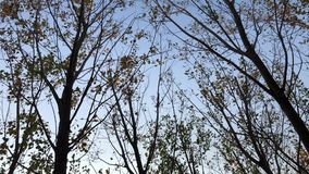 Looking up to the sky and spinning around the trees slowly with dry leaves. stock video footage