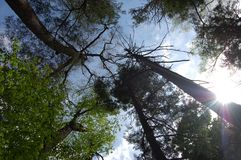 Looking Up to the sky through Trees. stock photo