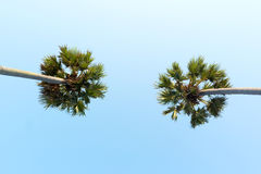 Looking up to the sky and very high tropical palm trees Stock Images