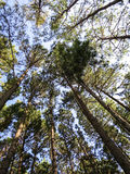 Looking up to the sunny sky in pine tree park, northern of Thail royalty free stock photos