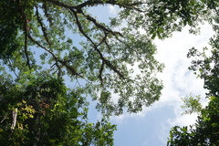 Looking up to the tree top in tropical forest Royalty Free Stock Photos