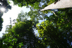 Looking up to the tree top in tropical forest Stock Photos
