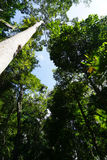 Looking up to the tree top in tropical forest Royalty Free Stock Images