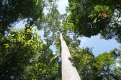Looking up to the tree top in tropical forest Stock Image
