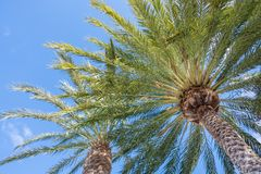 Summery palm trees in front of blue sky royalty free stock image