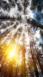 Looking up to the woods crown. Royalty Free Stock Images