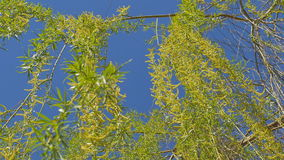 Looking up at the top of the willow tree. Under the blue sky. stock footage