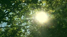 Looking up through tops of trees while sun shines through green foliage, summer forest at sunset stock video footage