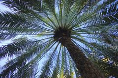 Date palm tree from below royalty free stock image