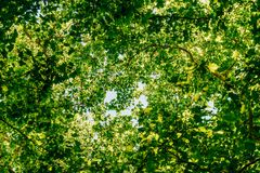 Looking Up Towards Tree Branches And Leaves On Summer Sky Royalty Free Stock Image