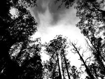 Mountain Ash Trees Black and White. Looking up at towering Mountain Ash trees Eucalypts whilst driving the famous Black Spur between Healesville and Narbethong Royalty Free Stock Photos