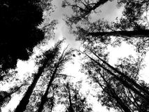 Mountain Ash Trees Black and White. Looking up at towering Mountain Ash trees Eucalypts whilst driving the famous Black Spur between Healesville and Narbethong Stock Image